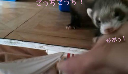 フェレットさん、飼い主の手をガブッと噛んで「こっち来て!」どうしても見せたいあるものとは?