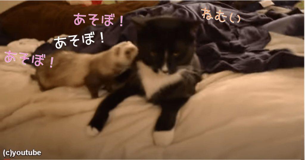 フェレットさん「ねぇ、ねぇ、遊ぼうよ」。思いっきり猫に甘えまくった結果がコチラ