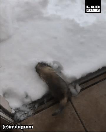 雪にダイブするフェレット