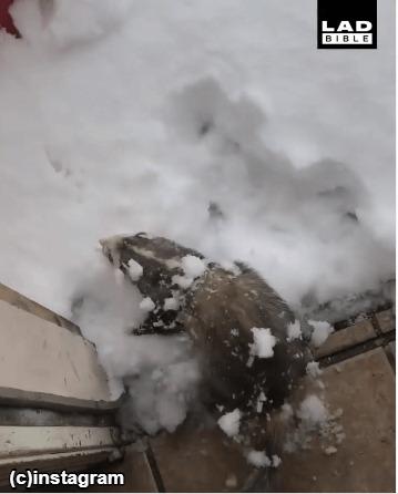雪まみれになるフェレット