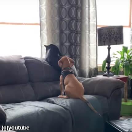 猫が大好きな生後5ヶ月のビーグル犬。肩に腕を回して「遊ぼう」と誘う