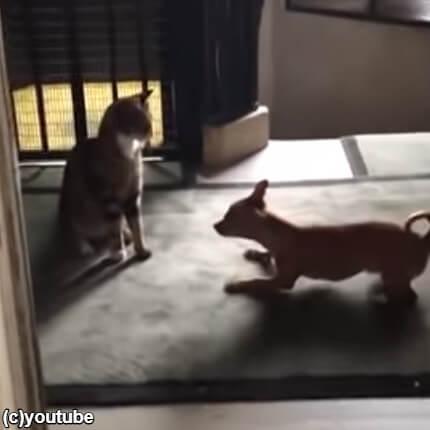 【片想い?】猫が好きすぎてアピールをする犬「遊んで!遊んで遊んで!遊んでー!」