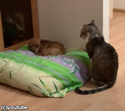 犬をじっと眺める猫
