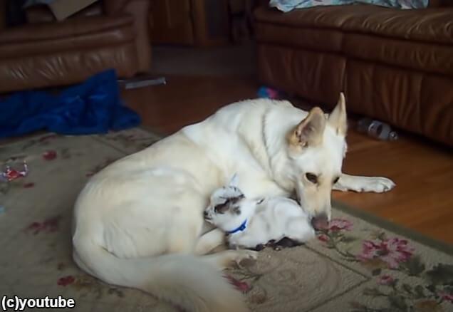 子ヤギを寝かしつける犬
