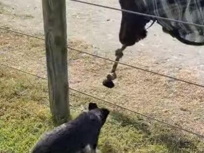 【ほっこり】オーストラリアの牧場よりお届け!犬と馬が綱引きをして遊ぶ
