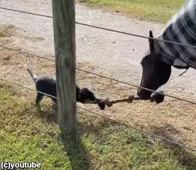 オーストラリアの牧畜犬タギー