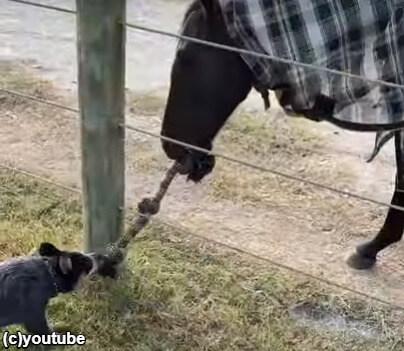 綱引きをして遊んでいる犬と馬