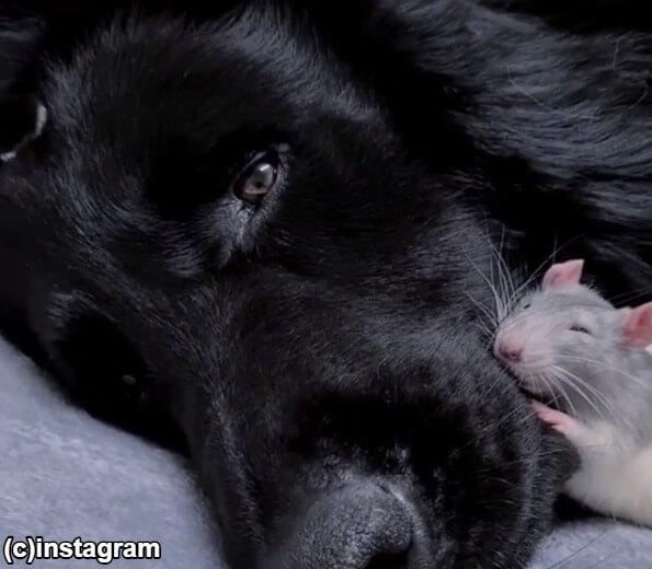 【朗報】家を失ったネズミ、シェパードのいる家で平和に暮らす「ここは落ち着くなぁ」