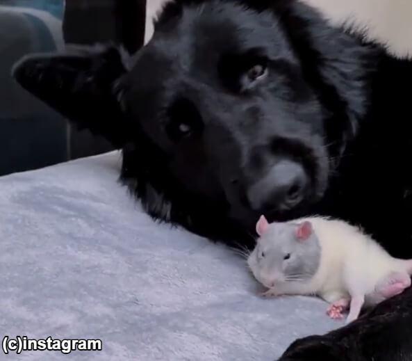 ネズミのブルーにそっと寄り添っているジャーマンシェパードのヌカ