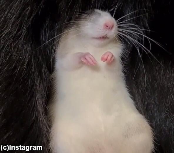 安心してぐっすり眠るネズミ