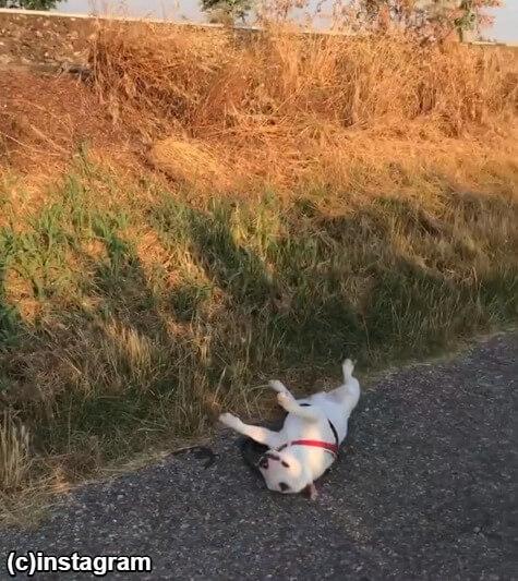歩けなくなった犬
