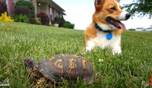 【心臓バクバク】コーギー犬、亀だと知らずビックリする「ひゃっ、いきなり動いた!」