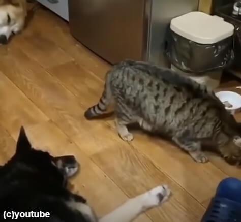 犬たちの間を通り抜けた猫
