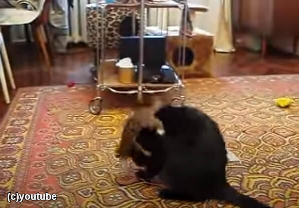 猫の上に乗るフェレット