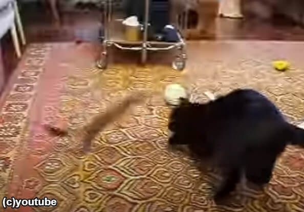 猫から素早く降りるフェレット