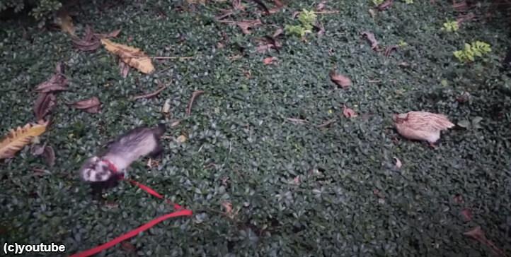 ふかふかの草の上を歩くフェレット