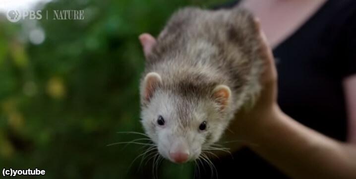 フェレットさん穴に入ると30%も背骨が伸びると判明(アメリカの研究)「彼らは液体動物かもしれない!?」
