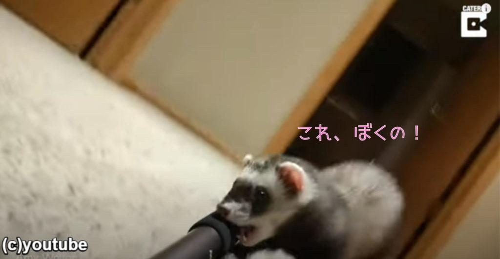 【速報】フェレットさん自撮り棒を盗んで、自分のものにしてしまう。証拠隠ぺい不可避