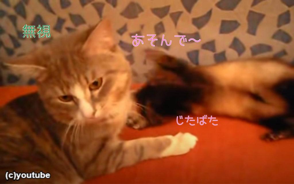 猫に思いっきり甘えるフェレット。「遊んで遊んで!遊んでってば!」「うるさいニャ!」