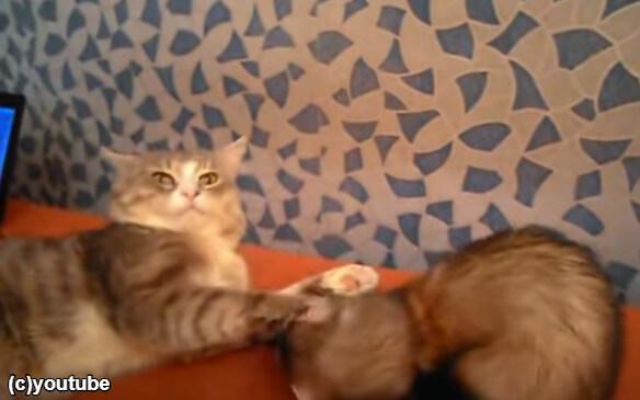 フェレットにびしっとつっこむ猫
