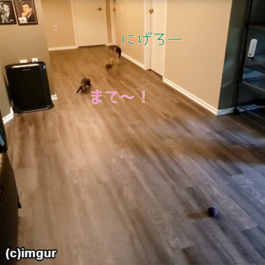 フェレットと子猫の追いかけっこが楽しそう!「鬼さ~ん、こっちこっち」