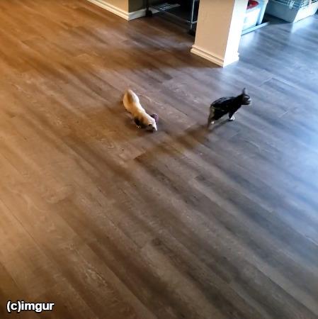 フェレットから逃げる子猫
