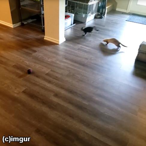 子猫を追いかけるフェレット