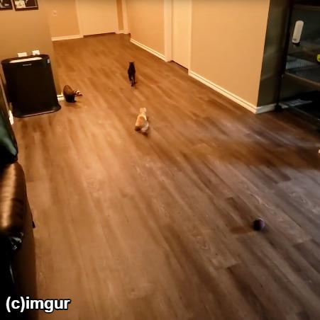 フェレット2匹で猫を追いかける