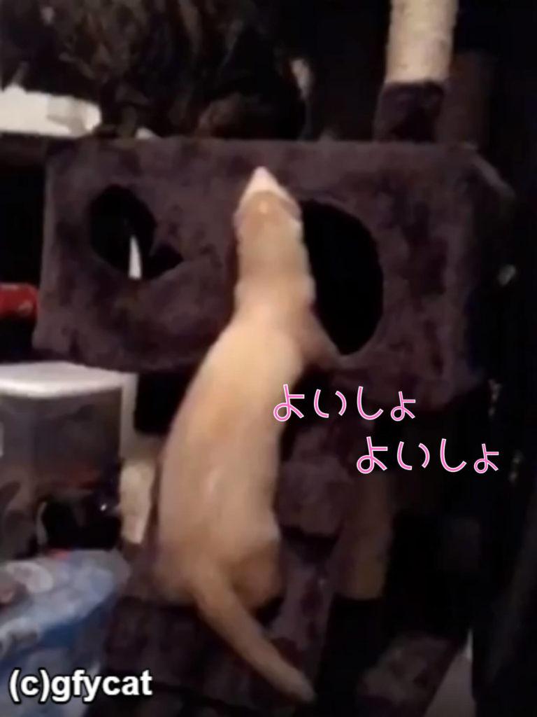 【悲報】フェレットさんキャットタワーに登ろうとするが失敗!その先に待っていた試練とは?