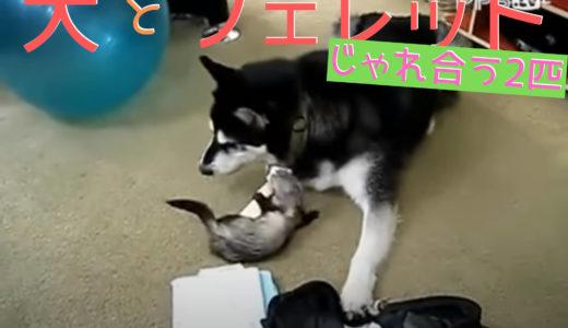 【フェレットvs犬】フリースタイルで格闘したらどっちが勝った?闘っているのに可愛い