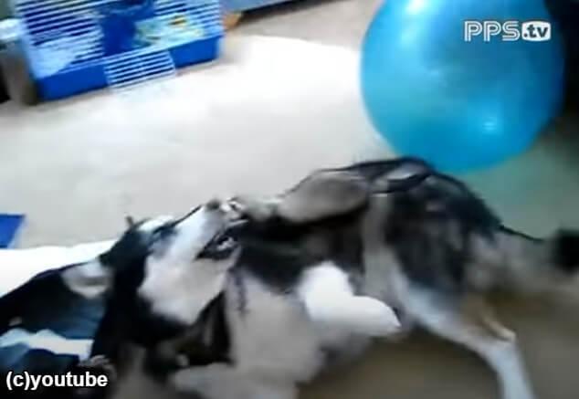 身軽さを生かして犬の上に乗るフェレット