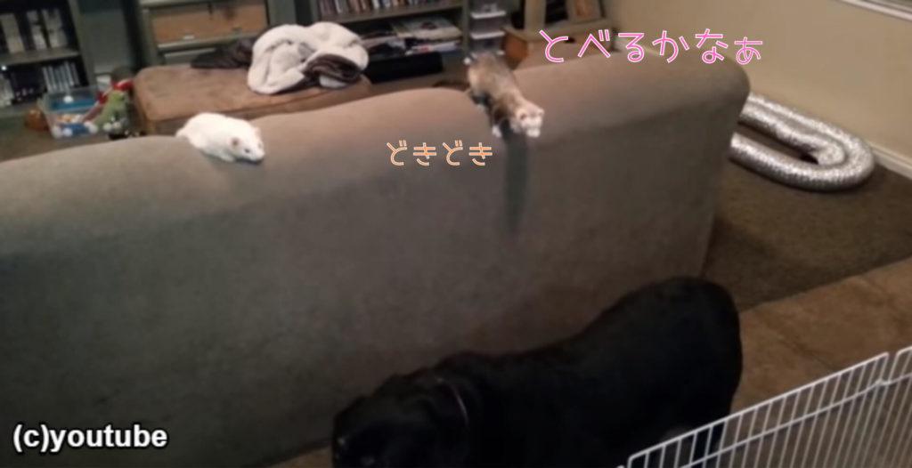 犬の背中を使って2段ジャンプするフェレット!ソファから柵の向こうに移動成功