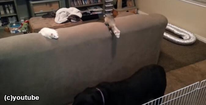 犬を見てひらめいたフェレット