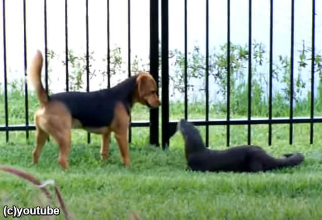 犬の檻の外から遊びに来たフェレット