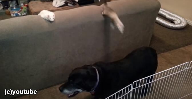 犬の背中に飛び移るフェレット