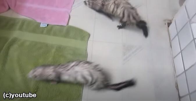 お風呂上がりの3匹のフェレット