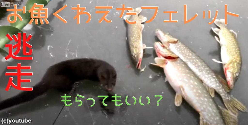 ロシアで見つけたお魚くわえたフェレット!「おいしそうなカワカマスみっけ!」→「やっぱ取るのやめよ…」