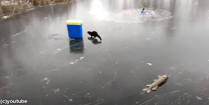 動画撮影者が近づくとびっくりして魚を落とすフェレット
