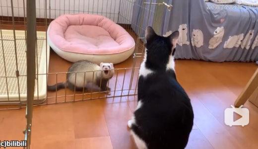 【ほっこりしちゃう】フェレットの遊びをずっと見守る猫「この子は今日も元気だニャア。」