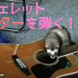 【信じられない真実】フェレットがギターを弾いていると思ったら…じつは「あること」が目的だった