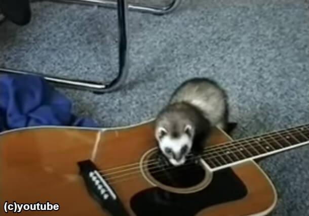 弦を押さえてギターを弾くフェレット
