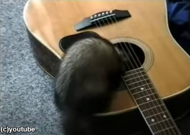 ギターの穴に入りはじめるフェレット
