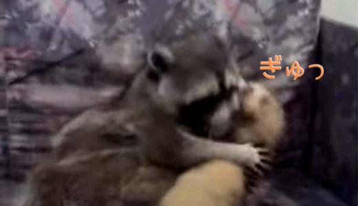 【熱愛発覚】フェレットとアライグマ抱き合う姿を撮られる[濃厚なキスとハグでラブラブ]