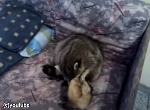 フェレットにキスするアライグマ