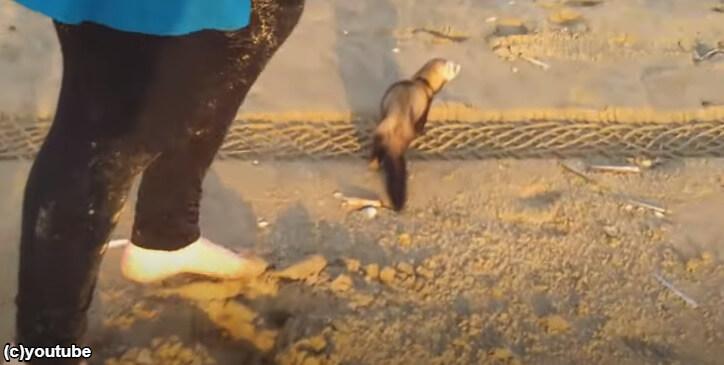 フェレットが飼い主と一緒に砂浜をお散歩【エモい】追いかけっこで遊ぶ「待って待って~!」