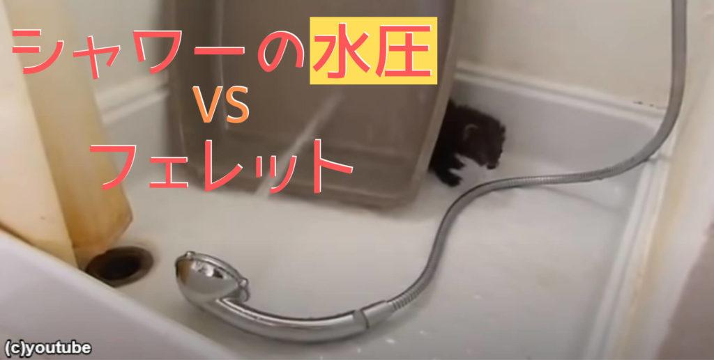 【激カワ】シャワーで遊ぶフェレット「ひぇっ!」と水圧にビックリしつつ、病みつきになる