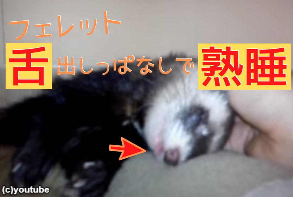 【ほっこり】フェレットが熟睡モードで無防備すぎる!飼い主に触られてもスヤスヤ……