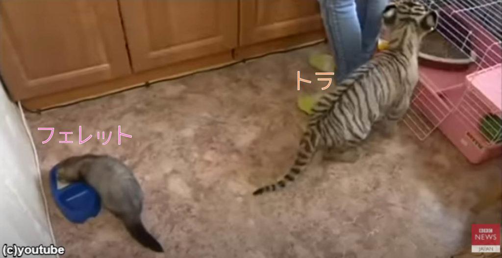【朗報】フェレットが親に捨てられたトラと仲良しになる!添い寝のシーンに胸キュン