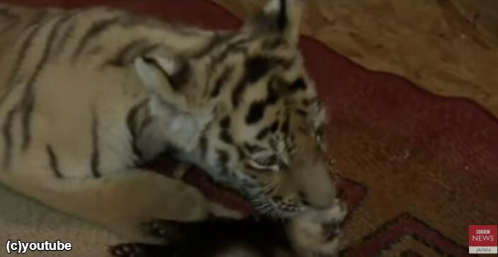 フェレットを舐めるトラ
