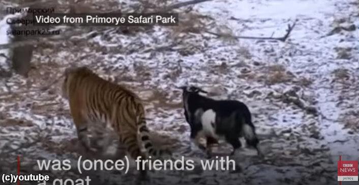 ヤギと仲良くなるトラ